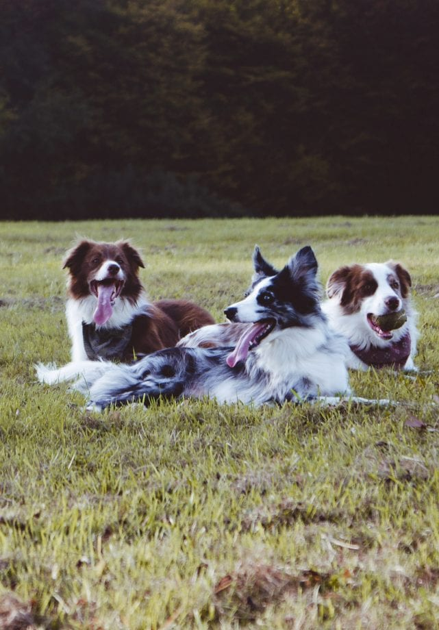 Three dogs at Leader of the Pack's dog boarding facility in Allentown, PA